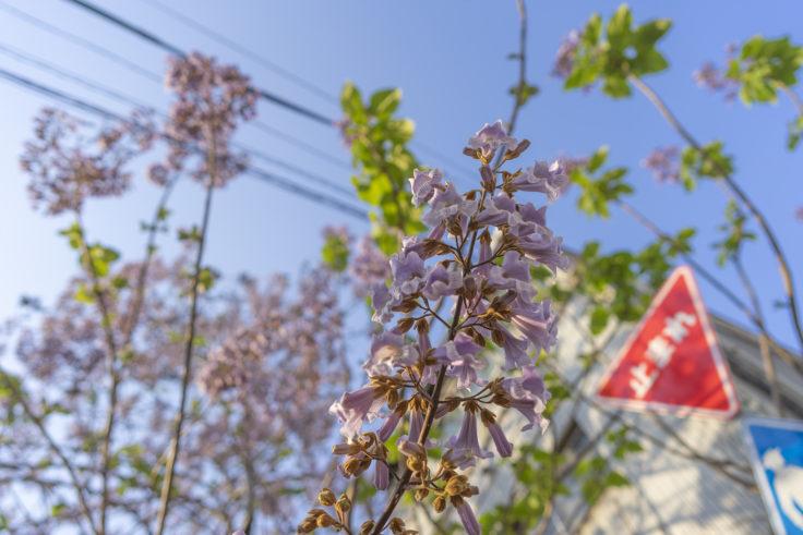 キリの花3