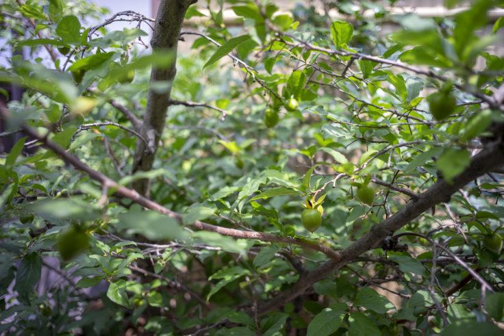 中村藤吉本店柿の木