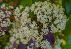 レッドロビン(ベニカナメモチ)の花とツボミ
