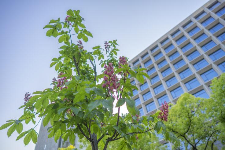 香川銀行とベニバナトチノキ