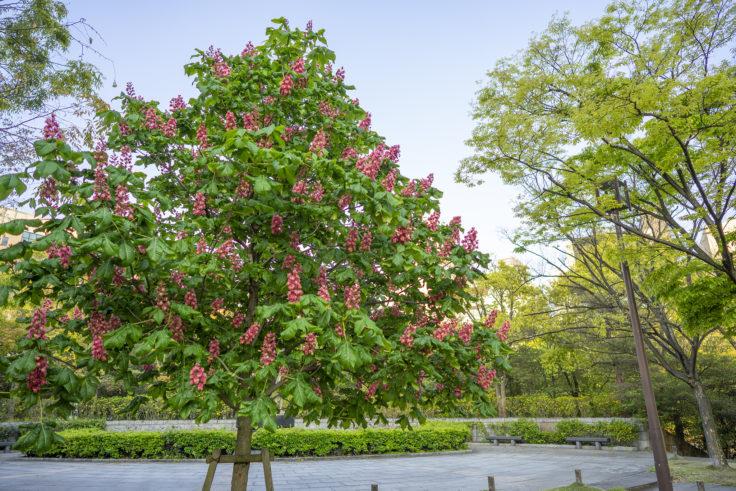 高松市中央公園のベニバナトチノキ
