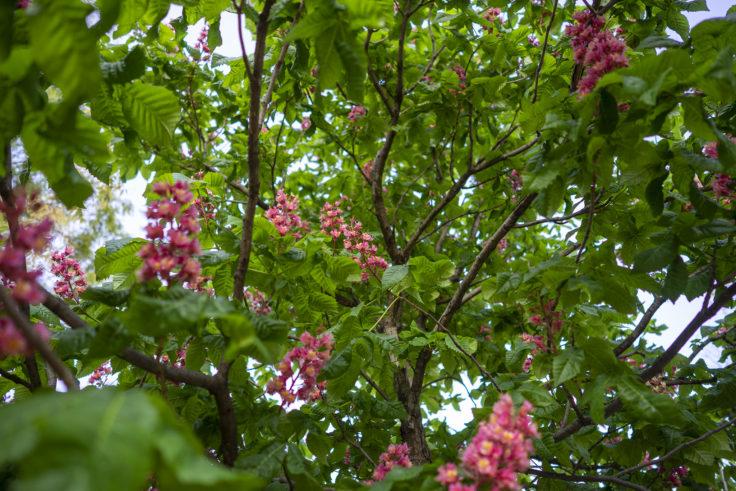 高松市中央公園のベニバナトチノキ2