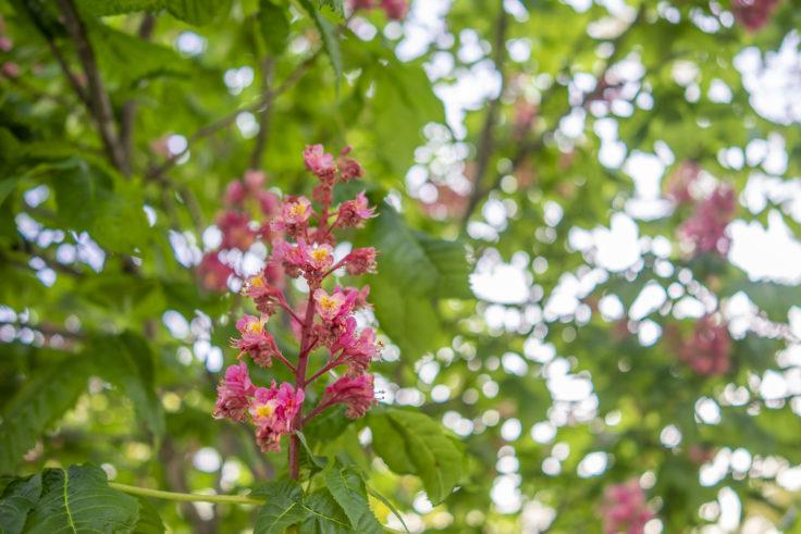 高松市中央公園のベニバナトチノキ3