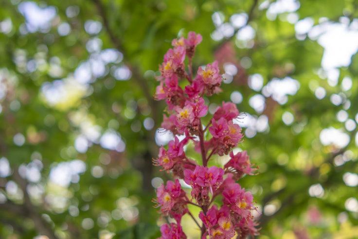 高松市中央公園のベニバナトチノキ4