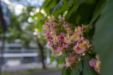 中央通りのピンクのベニバナトチノキ
