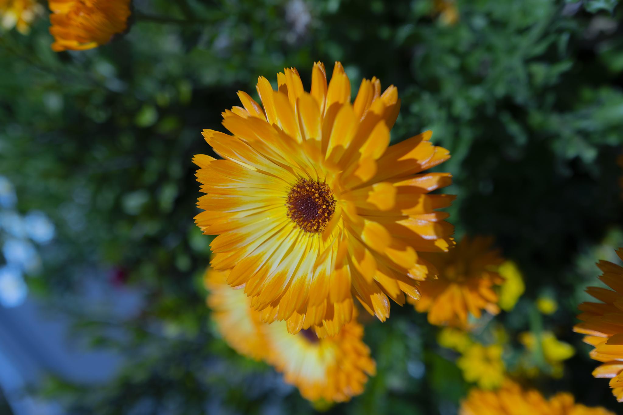 キンセンカ(カレンデュラ)の花言葉と誕生花