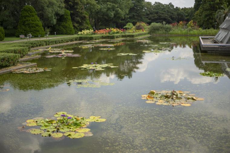 京都府立植物園の睡蓮