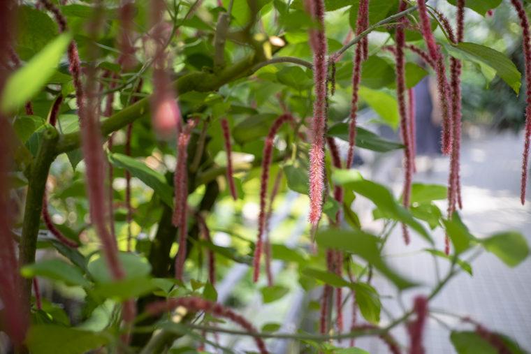 京都府立植物園のベニヒモノキ