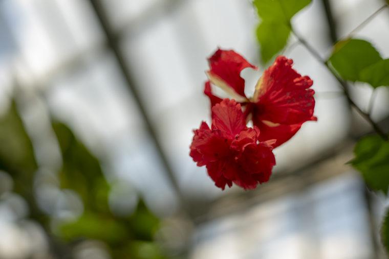 京都府立植物園のブッソウゲ