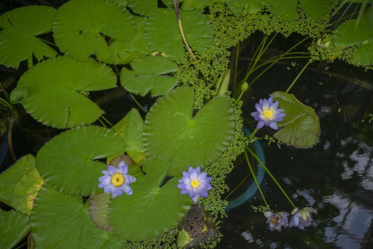 京都府立植物園のスイレン2