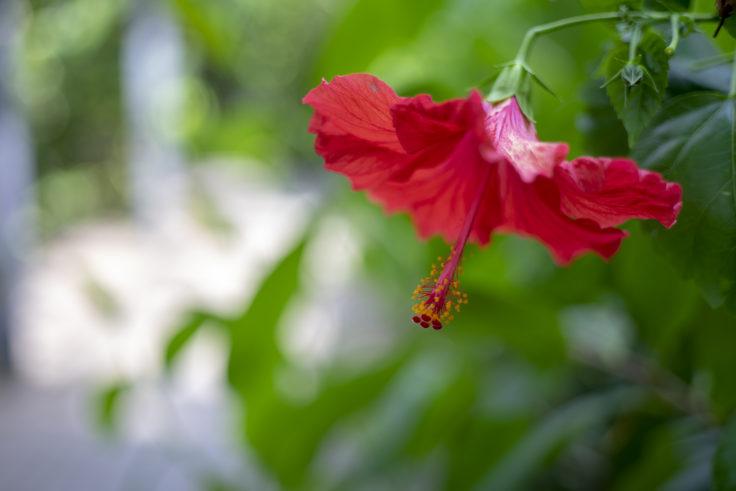 京都府立植物園のハイビスカス