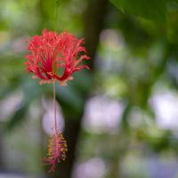 京都府立植物園のフウリンブッソウゲ