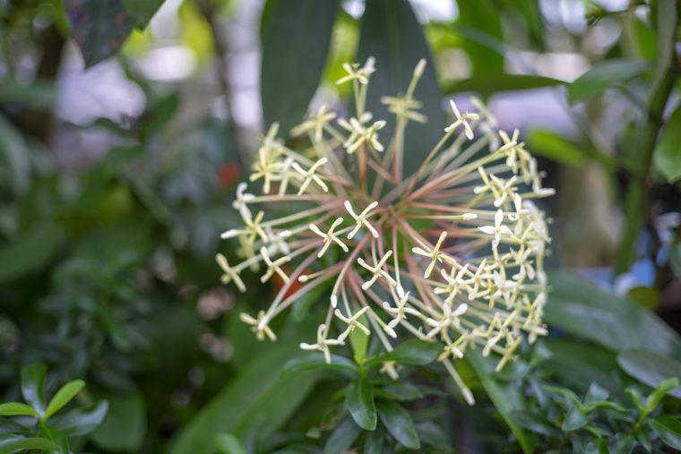 京都府立植物園のイクソラ