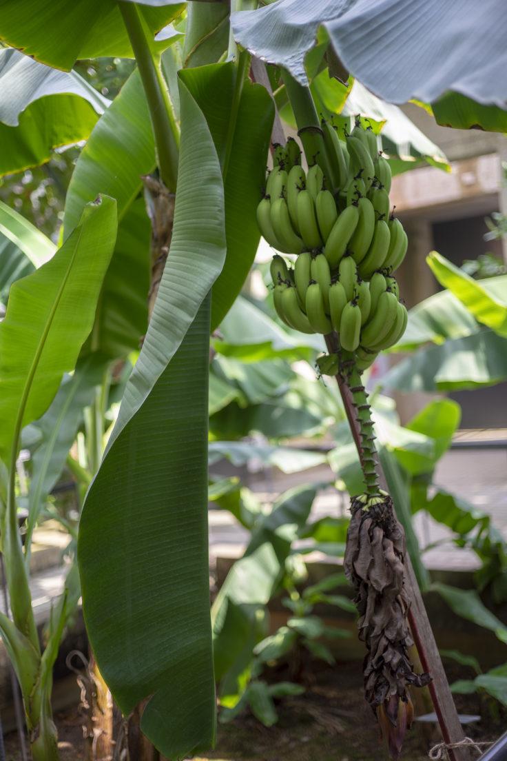 京都府立植物園のバナナ