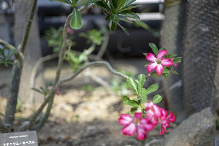 京都府立植物園のアデニウム・オベスム