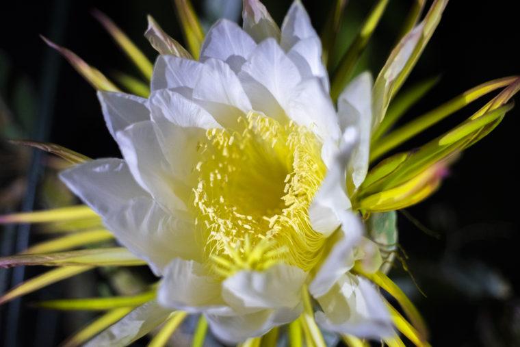 京都府立植物園のドラゴンフルーツの花