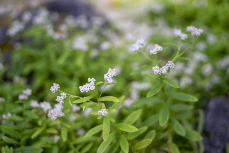 京都府立植物園のクリヤマハハコ