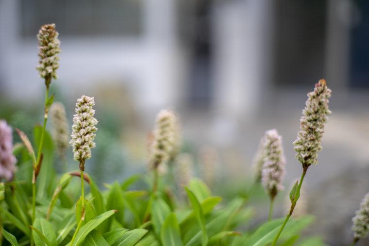 京都府立植物園のボリゴヌム・アフィネ