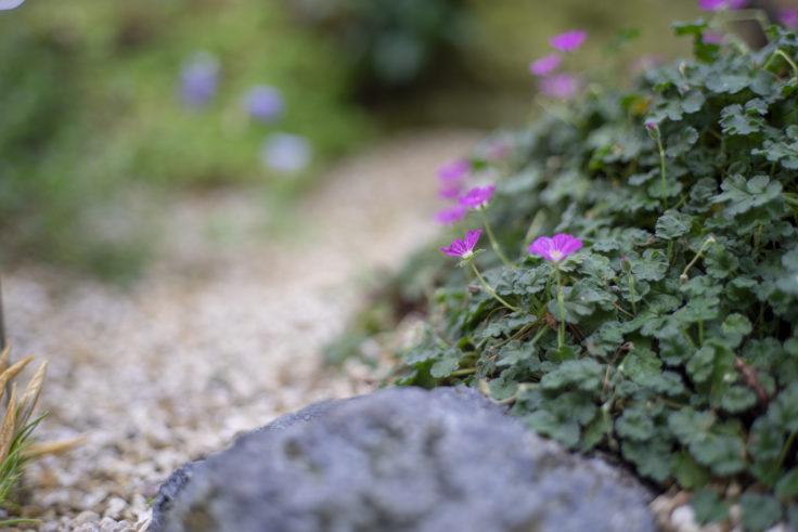 京都府立植物園のエロディウム・レイカルディ