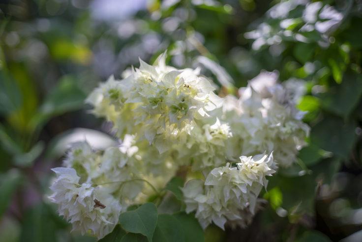 京都府立植物園のブーゲンビリア