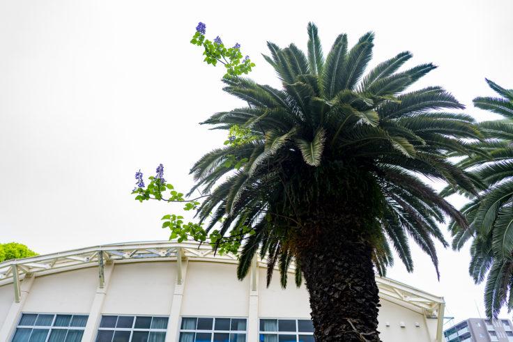 ヤシの木から生えるキリの花