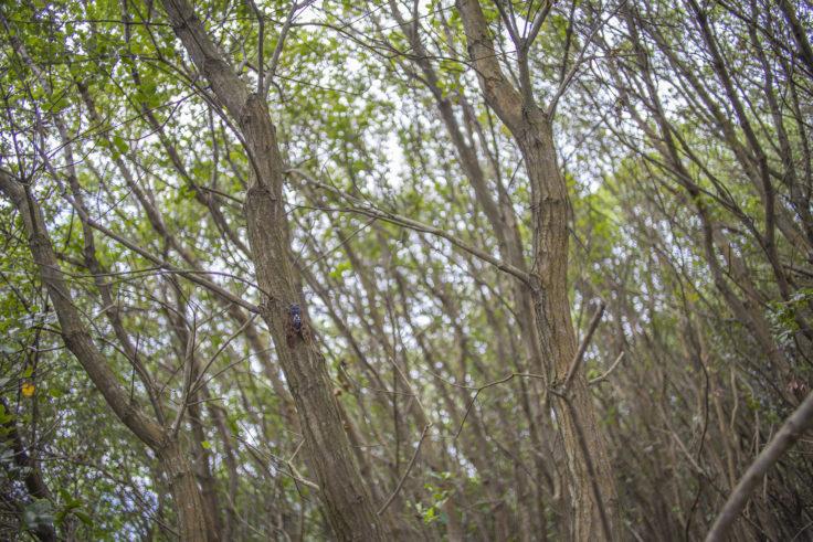 遠見山の木