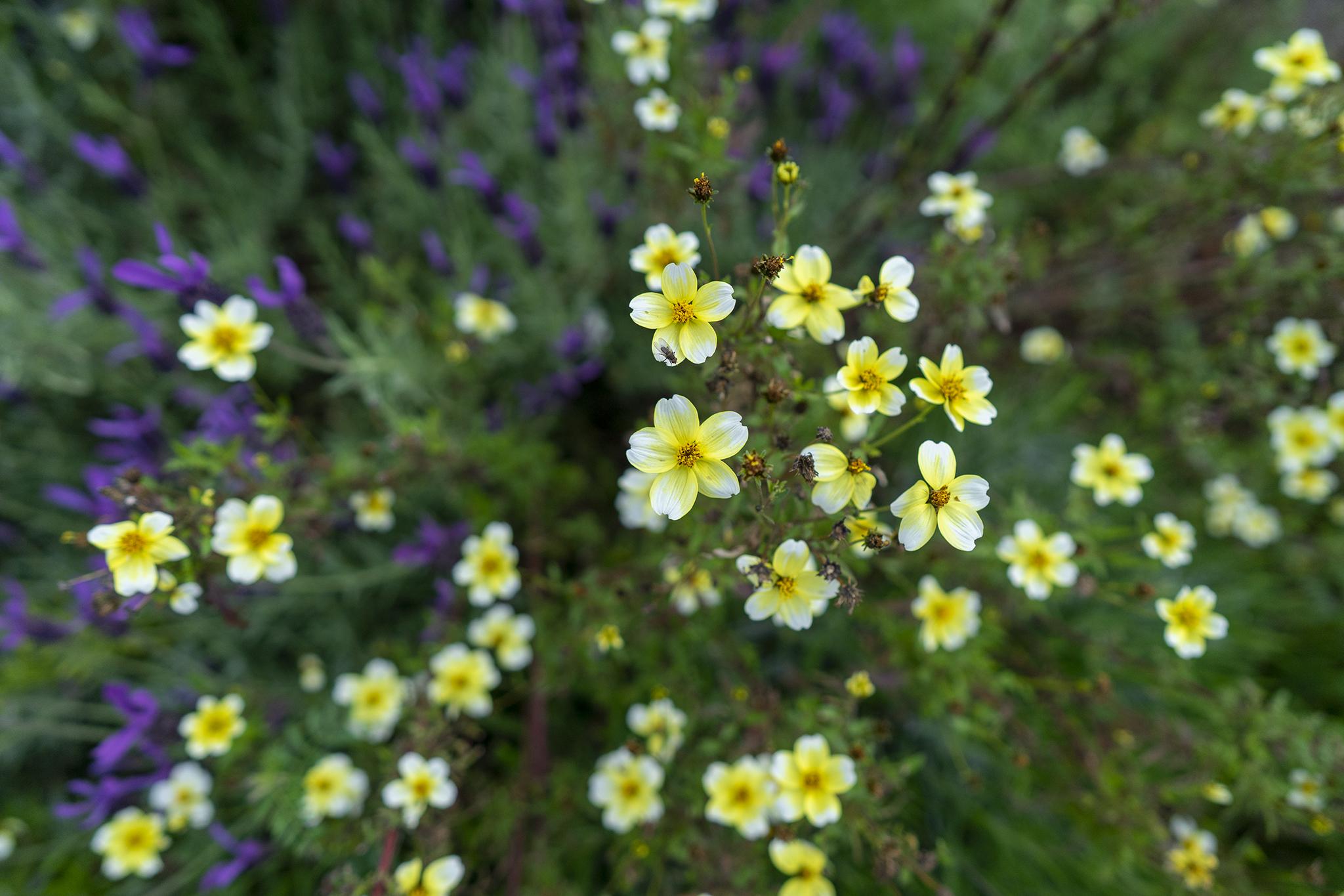 ウインターコスモスの花言葉と誕生花