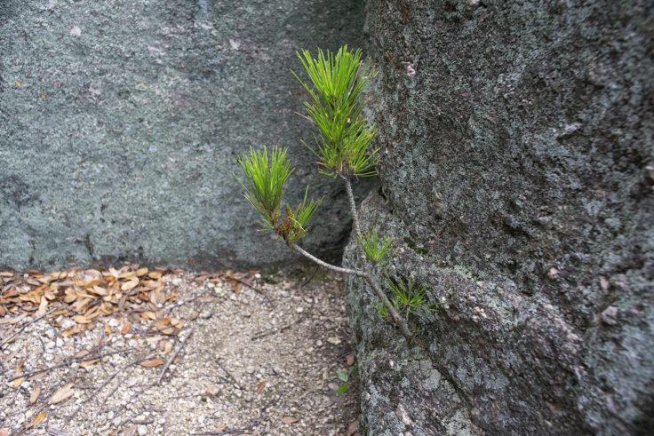 岩に生える松