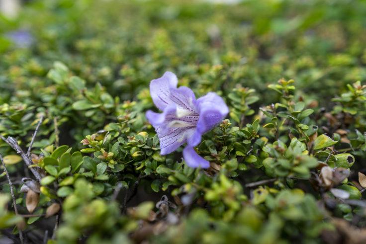 散ったキリの花