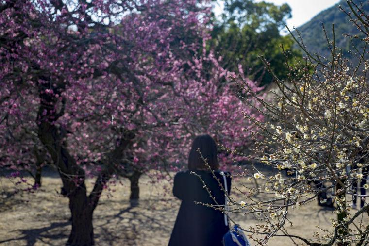 北梅林の梅の花
