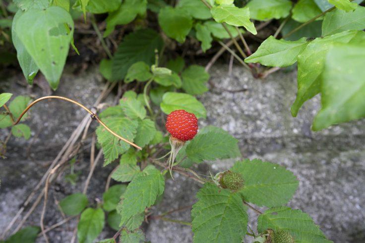 門入の郷のバライチゴ