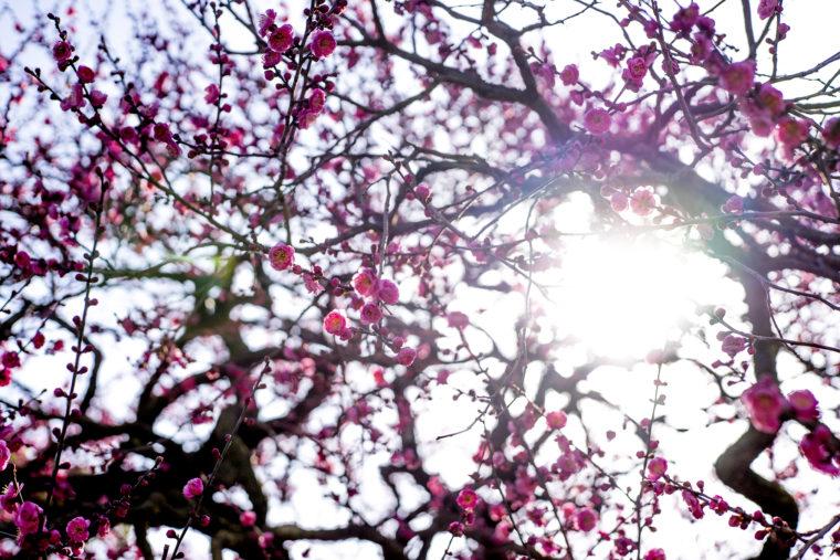 南梅林の梅