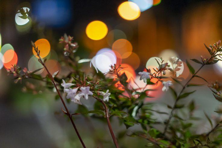 夜のアベリア