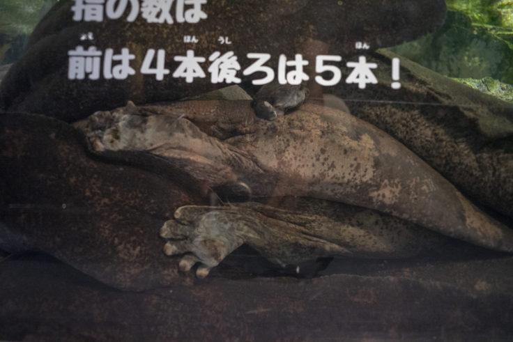 京都水族館の重なるオオサンショウウオ