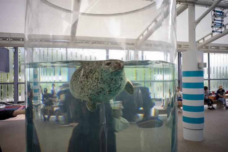 京都水族館の筒の水槽ゴマフアザラシ