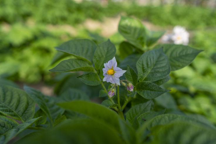 ジャガイモの花2