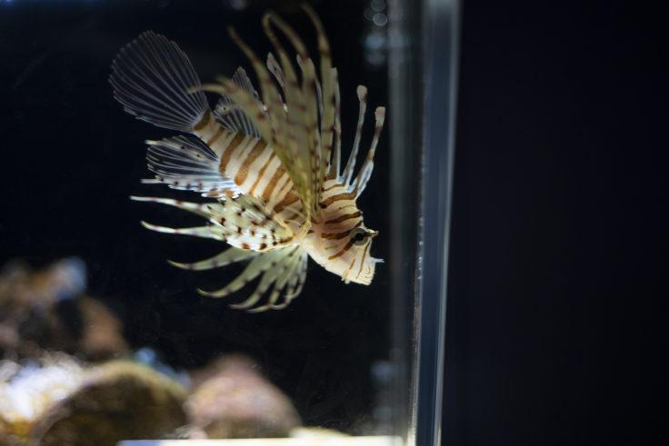 京都水族館のハナミノカサゴ
