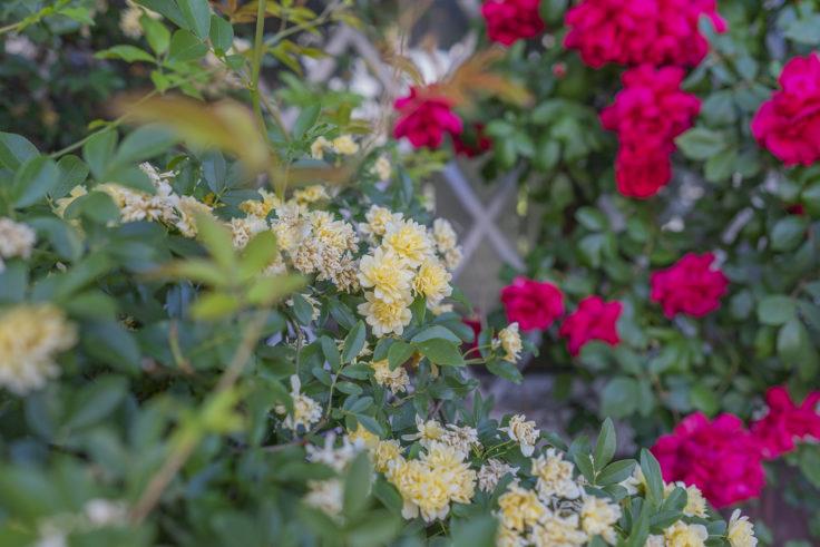 モッコウバラと赤いバラ