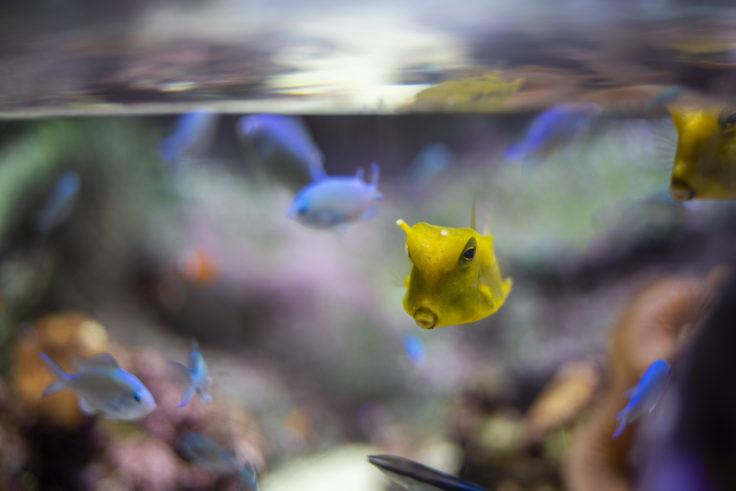京都水族館のコンゴウフグ