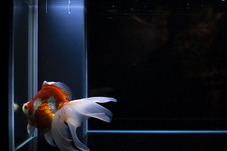 京都水族館の金魚