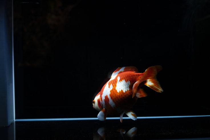 京都水族館の金魚2