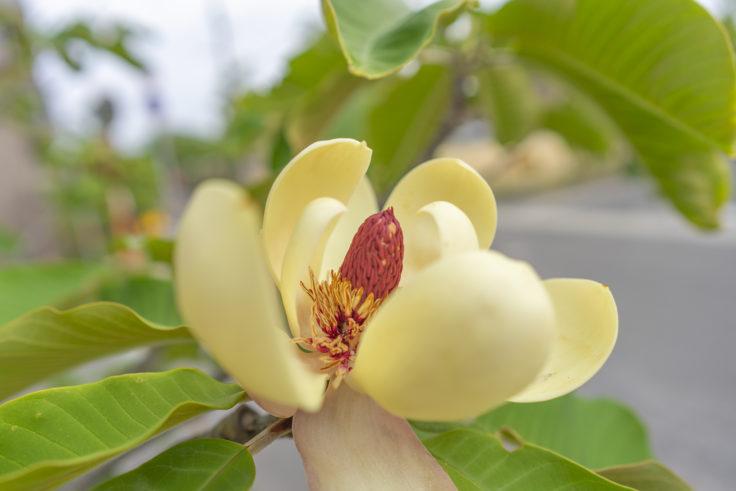 ホオノキの花4