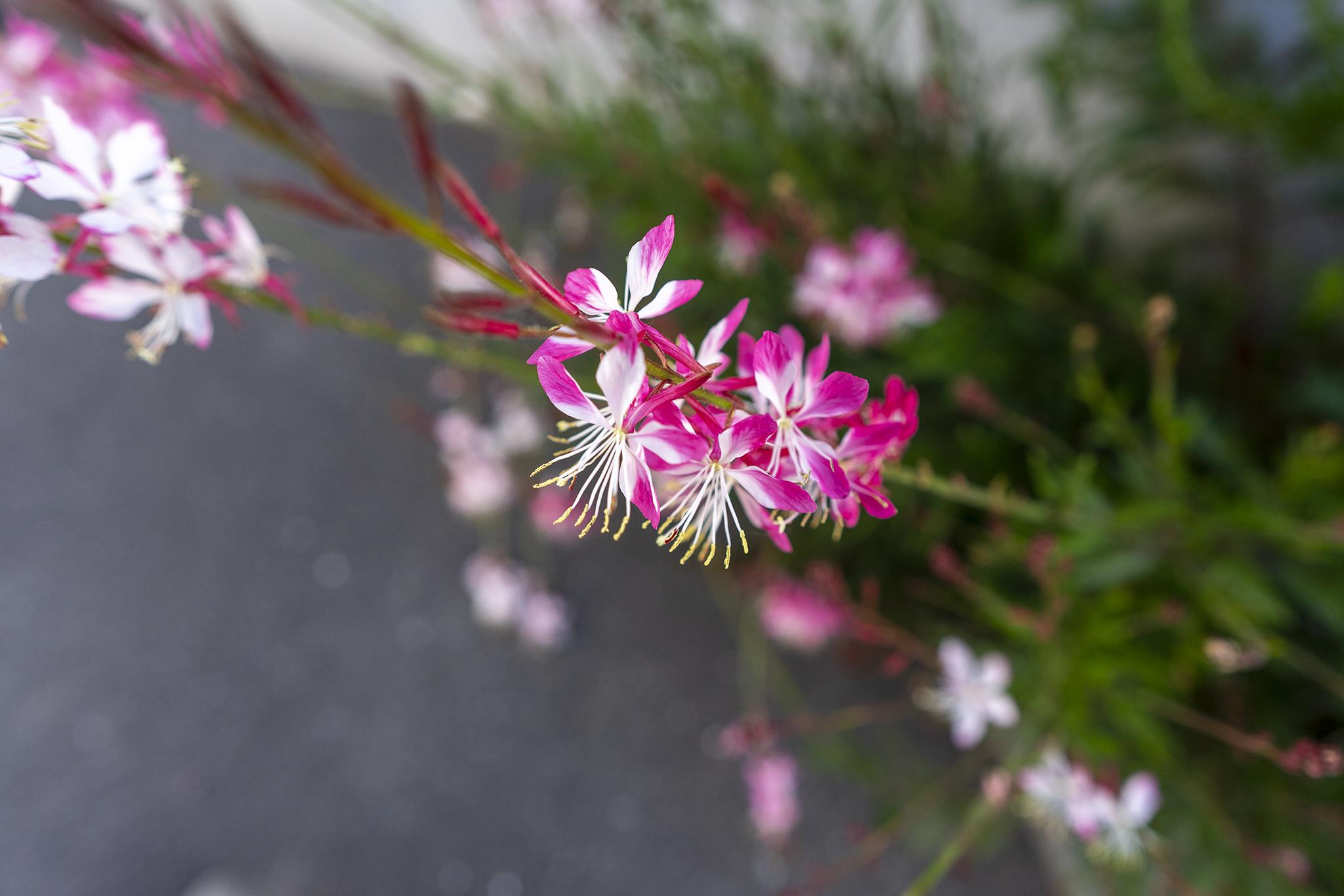 ガウラの花言葉と誕生花