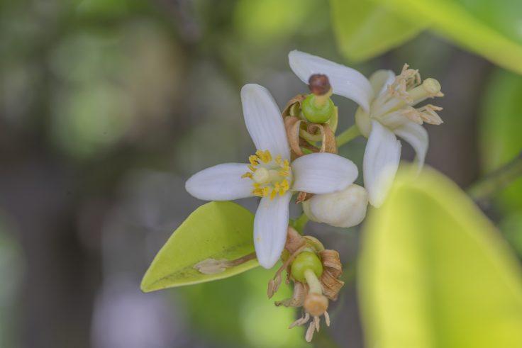 レモンの花4
