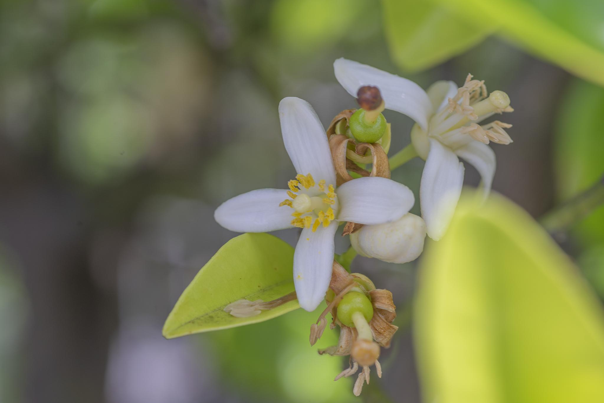 レモンの花言葉と誕生花