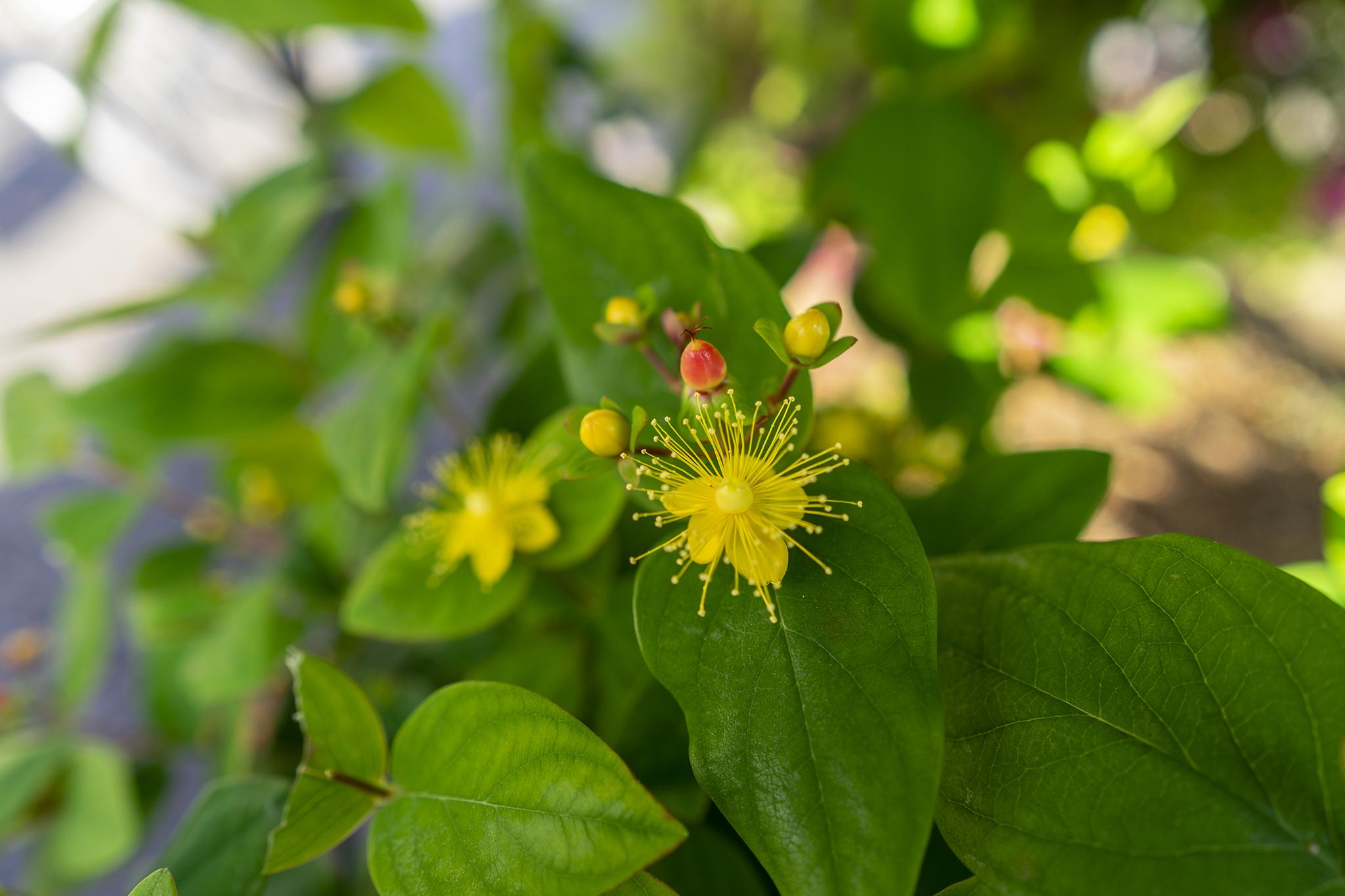 オトギリソウ属の花たち「ヒペリカム」「ビヨウヤナギ」「キンシバイ」