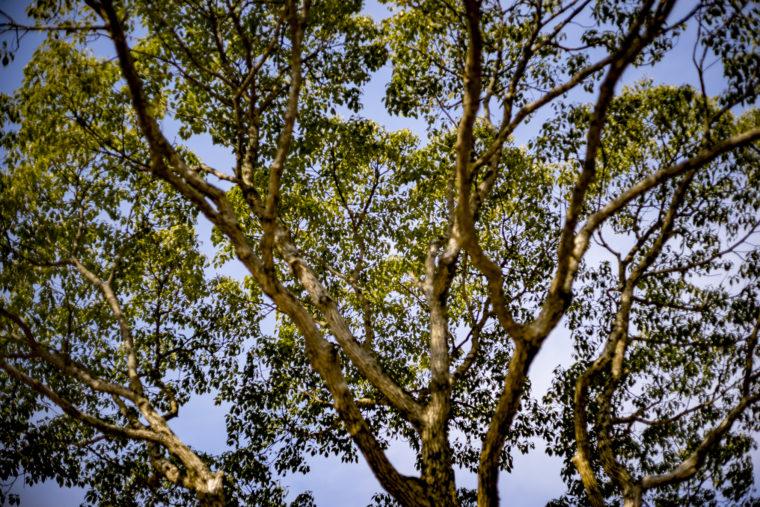 イルローザの森の木
