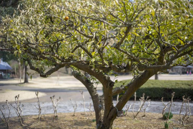 イルローザの森すだちの木