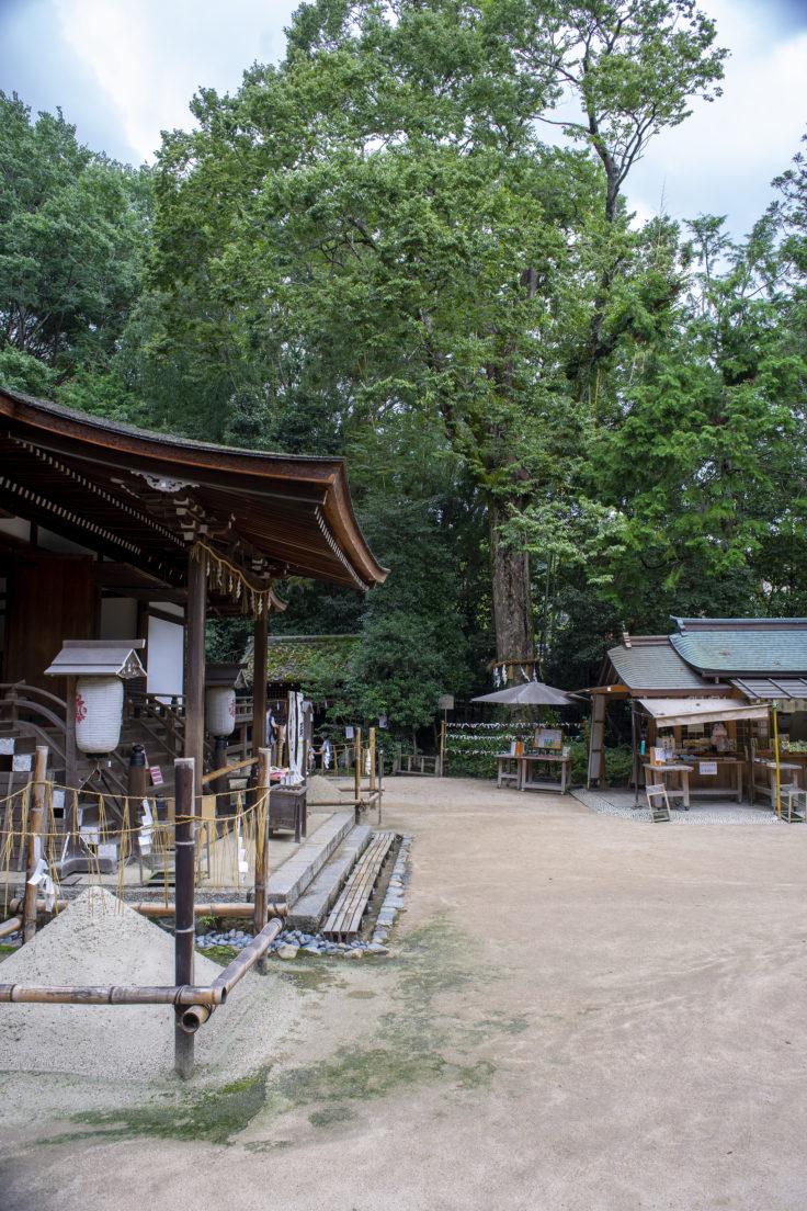 宇治上神社のクスノキ