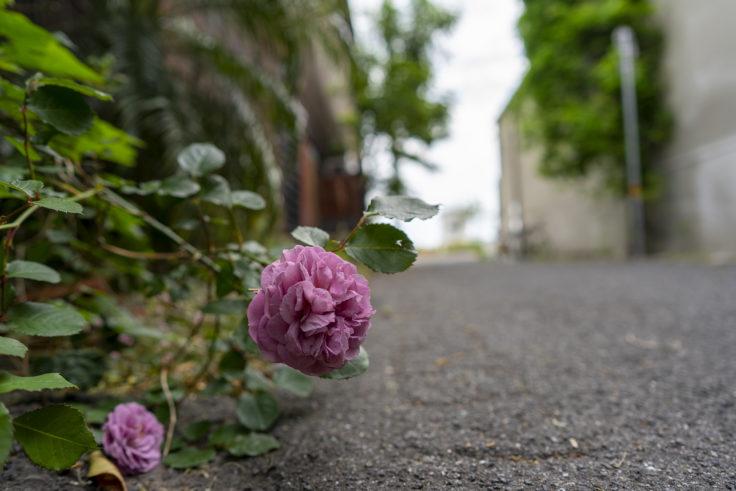 地を這うバラ